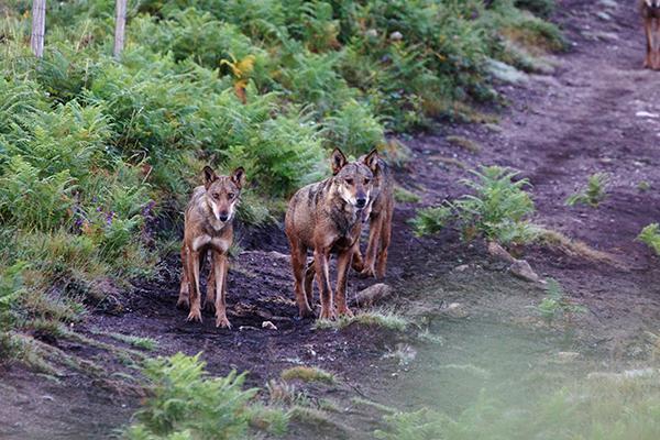Lobos sorprendidos al amanecer en una pista forestal de Pontevedra (foto: Segundo Grijalvo).
