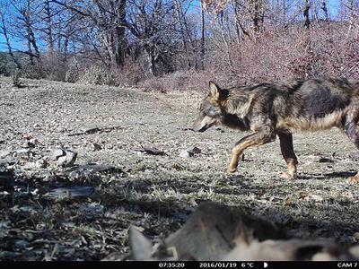 Imagen de fototrampeo de un lobo ibérico, realizada en la provincia de Guadalajara a principios de 2016. En el pelaje del animal se aprecia que está afectado por sarna (foto: Andrés Alonso).