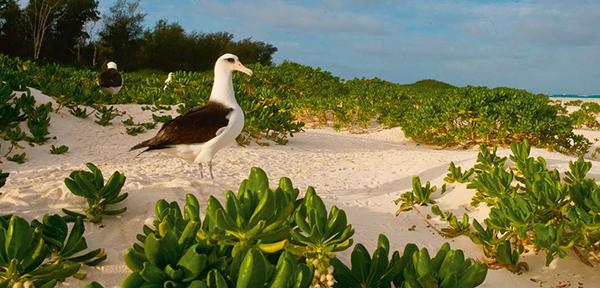 Albatros de Laysan en una de las islas Midway (foto: Enrique Aguirre / Shutterstock).