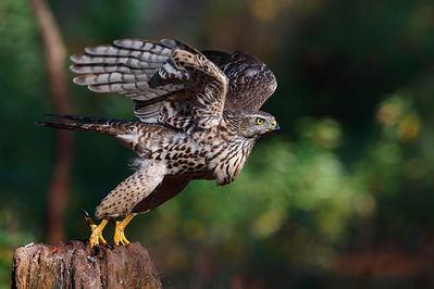 Un ejemplar juvenil de azor común echa a volar desde su posadero dentro de un bosque (foto: Shutterstock/ Henk Bogaard).