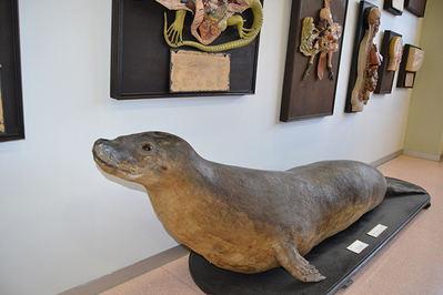Magnífico ejemplar de foca monje (probablemente una hembra) conservado en el IES Alfonso X (Murcia). Se trajo de Cartagena en 1881 y estaba mal clasificada como foca común o vitulina (foto: Juan Jiménez).