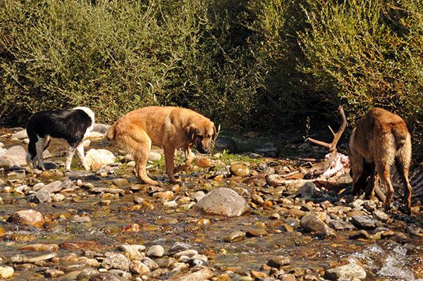 Varios perros incontrolados se alimentan de los restos de un ciervo en la montaña leonesa de Riaño (foto: Jorge Echegaray).