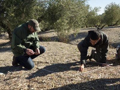 Dos investigadores buscan invertebrados en uno de los olivares del estudio (foto: LIFE Olivares Vivos).