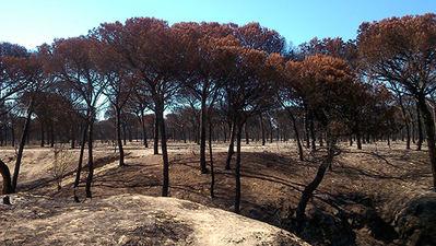 Pinos piñoneros calcinados en el incendio de junio de 2017 en Doñana (foto: Vicente Jurado).