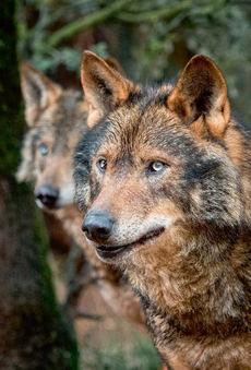 Pareja de lobos ibéricos (foto: Ramón Carretero).