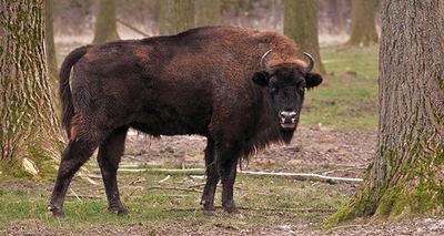 El bisonte europeo acapara un buen número de proyectos de rewilding (foto: Michael Gäbler / Wikicommons).