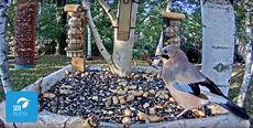 Arrendajo en el comedero de aves del valle de Lozoya (Madrid) donde SEO/BirdLife ha instalado una webcam