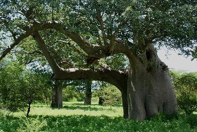 Ejemplar senegalés de baobab africano (foto: Stephan Scholz y Arturo Valledor).