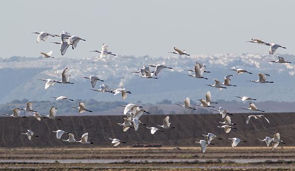 Un bando de espátulas sobrevuela una zona de arrozales de la antigua laguna de la Janda, en la provincia de Cádiz (foto: Manuel Moreno).