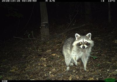 Mapache en una imagen de fototrampeo subida a eMammal (foto: D. C. Wildlife Project).