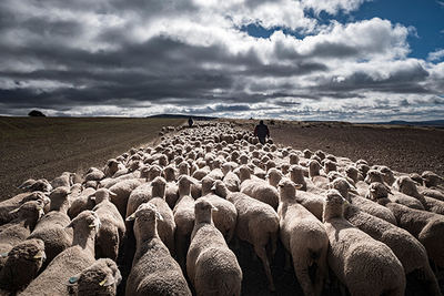 Rebaño trashumante en Castilla y León (foto: csp / Shutterstock).