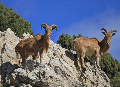 Dos hembras de arruí en Sierra Espuña (foto: Sergio Eguía).