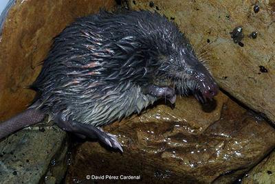 Desmán ibérico capturado durante uno de los muestreos hidrobiológicos realizados por LIFE+ Desmania en la provincia de León (foto: David Pérez Cardenal).