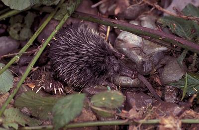 Desmán ibérico en su hábitat (foto: Pedro García-Rovés).