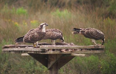 Tres de los pollos traslocados desde Escocia hasta el País Vasco se alimentan en un cebadero de la Reserva de la Biosfera de Urdaibai (foto: Urdaibai Bird Center).