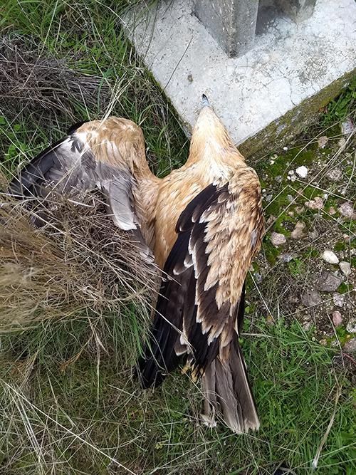 Mueren tres águilas imperiales por electrocución en Toledo