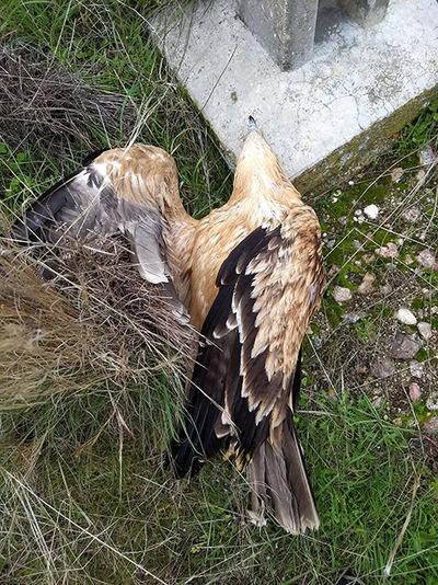 El águila imperial 'Iris' yace electrocutada junto al apoyo de un tendido eléctrico de Paredes de Escalona (Toledo). Foto: Juan José Iglesias / Grefa.