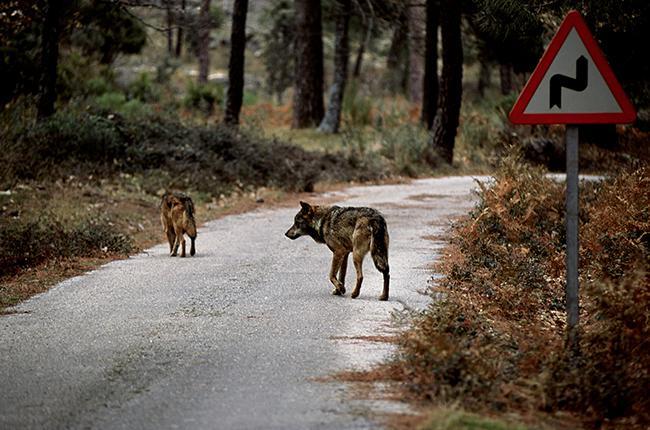 Dos lobos atraviesan una pista asfaltada que se interna en una zona de bosque (foto: Ángel Javier España).