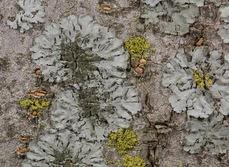 Phaeophyscia orbicularis es una especie de líquen que puede vivir en zonas con alta contaminación en Madrid (foto: Sergio Pérez Ortega).