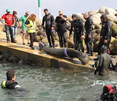 Mandíbula de ballena franca localizada, reflotada y recogida del fondo marino en Puerto de Bares (Mañón, A Coruña). Foto: CEMMA.