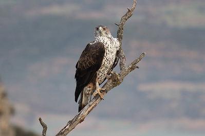 Un águila perdicera adulta observa desde su posadero en la rama seca de un árbol (foto: Antonio Herrero).