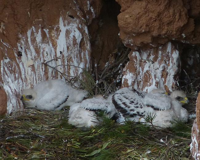 Los cuatro pollos de águila perdicera, con edades similares, comprendidas entre 18 y 26 días de edad, reposan en su nido del valle riojano del Cidacos (foto: Fernando Cirac).