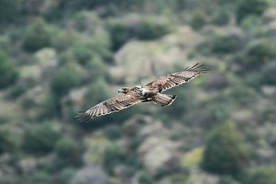 El águila perdicera Haza, liberada en 2014 en la Sierra Oeste de Madrid, vuela con su emisor GPS visible en el dorso (foto: Sergio de la Fuente / Grefa).