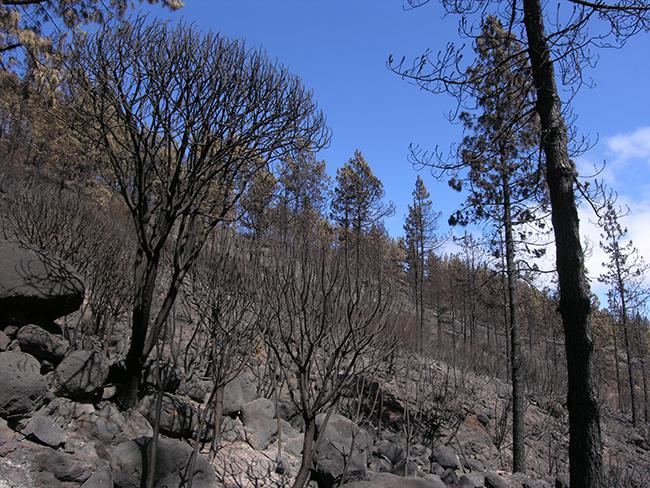 Ladera de pino canario afectada por el fuego en el Parque Nacional de Garajonay (La Gomera). Foto: LIFE+ Garajonay.