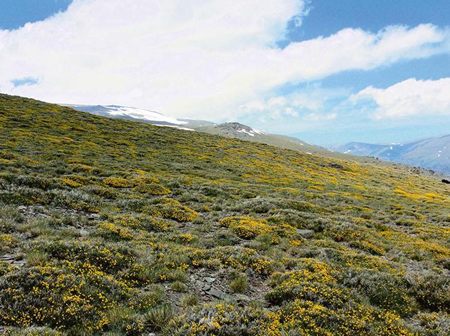 Los piornales cubren amplias extensiones en las laderas de Sierra Nevada y dan cobijo a multitud de plantas (foto: autores).