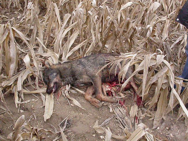 El cadáver de un lobo ibérico yace en un maizal tras ser abatido (foto: ASCEL).