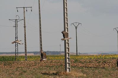 Varias avutardas vuelan entre los apoyos de tendidos eléctricos de la comarca de La Moraña (Ávila). Foto: David García.