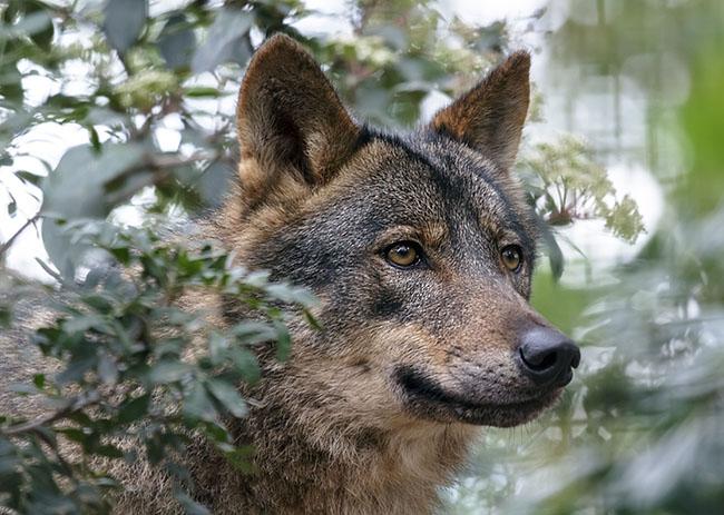 Primer plano de un lobo ibérico (foto: KarSol / Shutterstock).