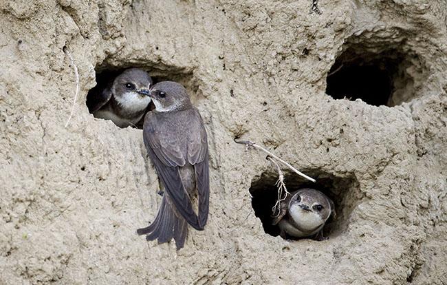Aviones zapadores en sus nidos, horadados en un talud (Kasperczak-Bohdan / Shutterstock).