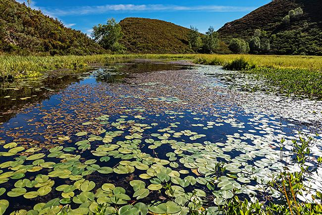 Laguna de Reconcos (Cangas del Narcea, Asturias), cubierta de un tapiz del nenúfar Nuphar luteum subsp. pumilum. Foto: Ignacio Fernández Villar.