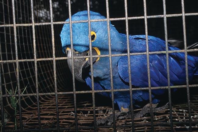 Guacamayo de Lear (Anodorhynchus leari), una especie que se va recuperando tras haber sido durante décadas muy buscada por los contrabandistas de fauna (foto: Traffic).