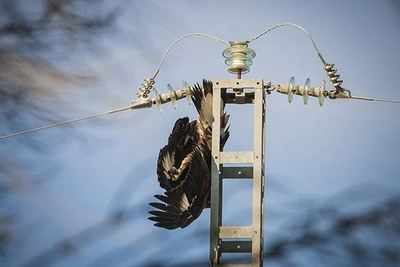 Un águila real cuelga sin vida del apoyo de un tendido eléctrico del término municipal de Tarazona de La Mancha (Albacete), tras haberse electrocutado. Foto: Juan A. Tabernero (jakometa).
