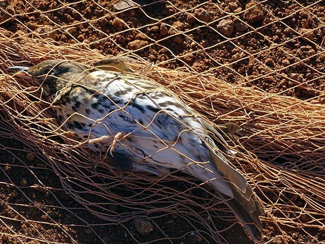 Un zorzal yace atrapado ilegalmente en una red (foto: AEAFMA).