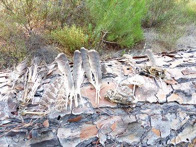 Desplumadero de búho real en Aznalcázar (Sevilla), donde pueden observarse plumas de águila calzada (foto: Alfonso Romero).