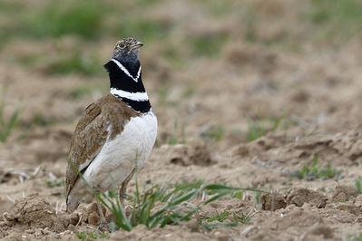 Macho de sisón común, una de las especies de aves esteparias más afectada por la intensificación agrícola (foto: Francisco C. Parody).