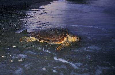 Una tortuga boba regresa al mar tras haber desovado en una playa malagueña (foto: José Antonio Rodríguez).