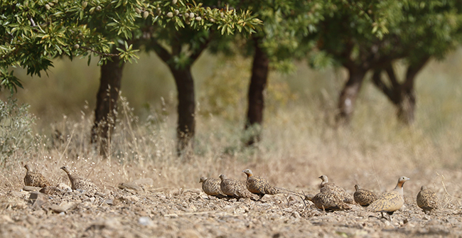 Grupo de gangas ortegas. Los nuevos cultivos de leñosas en regadío, como los almendros de la fotografía, están detrás de la fuerte regresión que están sufriendo en Andalucía esta especie y otras de aves esteparias (foto: Francisco C. Parody).