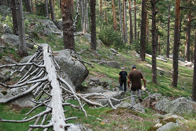 Dos colaboradores de LIFE RedBosques caminan por la umbría de Siete Picos, en lo más alto de los bosques de Valsaín (Segovia). Foto: Javier Donés.