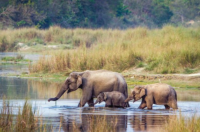 Grupo familiar de elefantes asiáticos en el Parque Nacional de Bardiya (Nepal). Foto: Paco Como / Shutterstock.