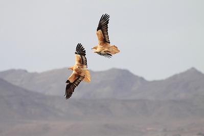 Dos alimoches adultos en vuelo en Fuerteventura. El ejemplar de la izquierda porta un emisor al dorso (foto: Julio Roldán).