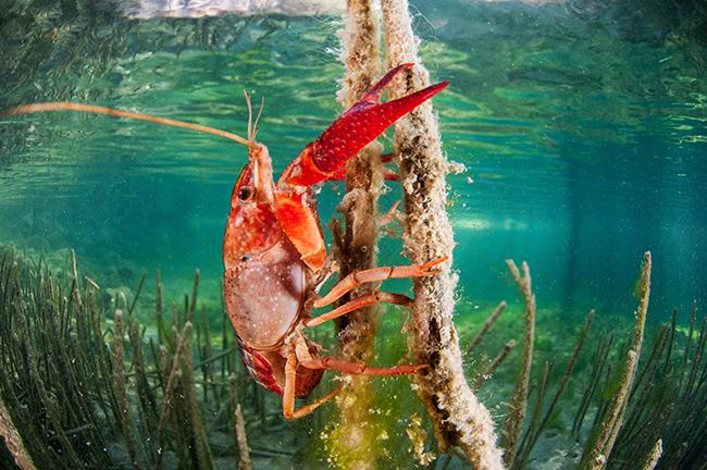 Un cangrejo rojo americano se alimenta de algas epífitas sobre un tallo de carrizo. Esta especie ha colonizado casi toda la cuenca del Segura (foto: F. Javier Murcia).