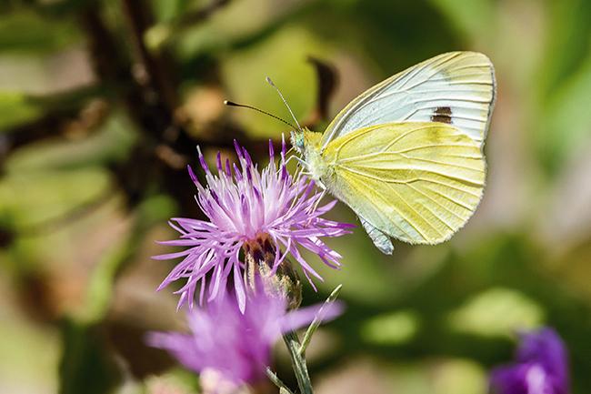 La blanquita de la col (Pieris rapae) ha resultado ser la mariposa más abundante en las ciudades de Madrid y Barcelona (foto: Fabio Lotti / Shutterstock