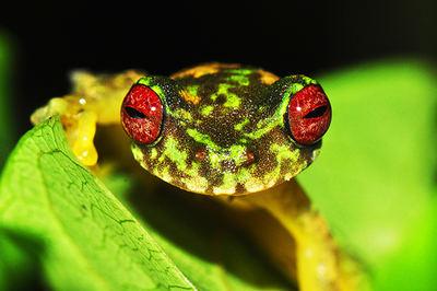 La quitridriomicosis ha sido recientemente detectada en Duellmanohyla soralia, una rana arborícola centroameriana, catalogada como 'En peligro' en la Lista Roja de la IUCN (foto: Jon Kolby).