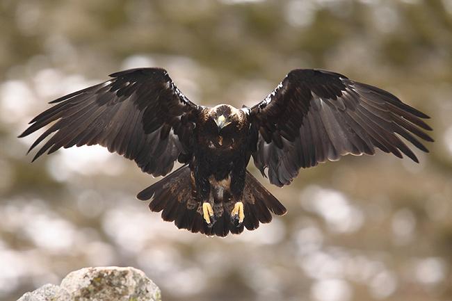Águila imperial adulta en vuelo (foto: Paolo-manzi / Shutterstock).
