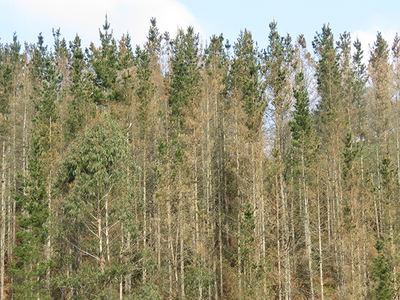 Pinos de Monterrey secos en un monte vasco debido a la enfermedad de la banda marrón (foto: Sociedad Ornitológica Lanius).