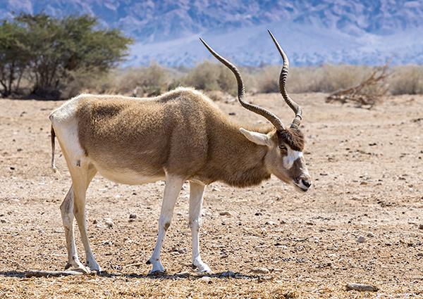 Ejemplar de antílope addax en una reserva de Israel (foto: Sergei25 / Shutterstock).